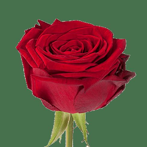 Роза Ред Наоми (Red Naomi) 55-65 см
