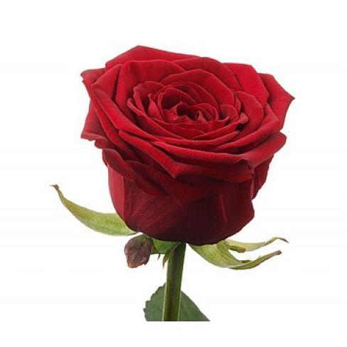 "Роза ""Престиж"" 55-65 см"