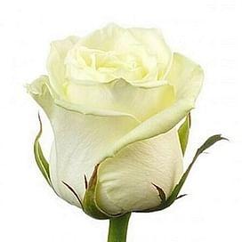 Роза Аваланш (Avalanche) 55-65 см