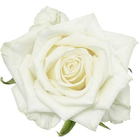 Роза Уайт Наоми (White Naomi) 55-65 см