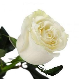 Роза Мондиаль (Mondial) 55-65 см
