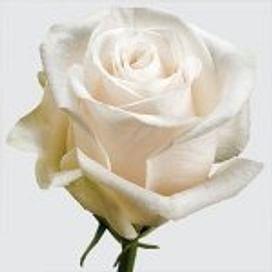 Роза Вендела (Vendela) 55-65 см