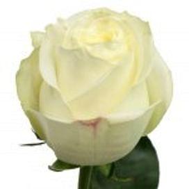 Роза Полар Стар (Polar Star) 55-65 см