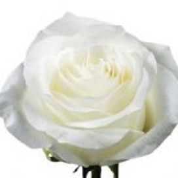 Роза Прауд (Proud) 55-65 см