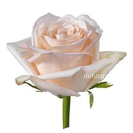 Роза Кимберли (Kimberly) 55-65 см