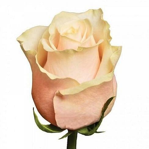 Роза Талея (Talea) 55-65 см