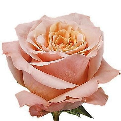 Роза Шиммер (Shimmer) 55-65 см