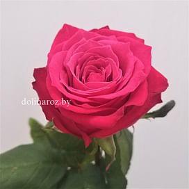 Роза Бузанти (Byzanti) 55-65 см