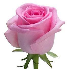 Роза Ревайвл (Revival) 55-65 см