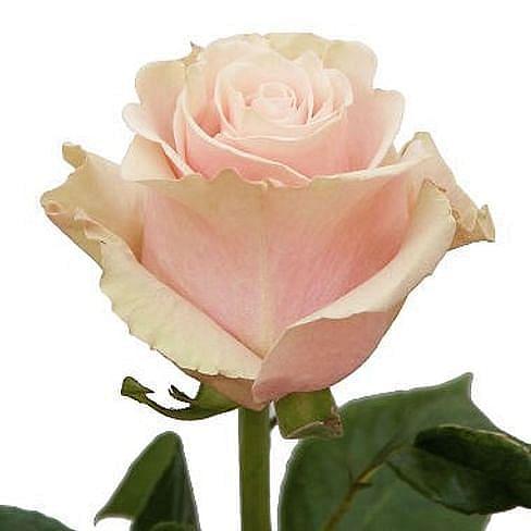 Роза Пинк Мондиаль (Pink Mondial) 55-65 см