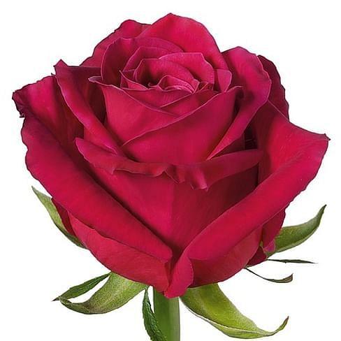 Роза Шангри Ла (Shangri La 55-65 см