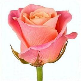 Роза Мисс Пигги (Miss Piggi) 55-65 см