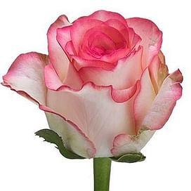 Роза Джумилия (Jumilia) 55-65 см