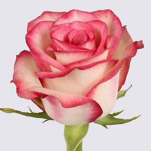 Роза Палома (Paloma) 55-65 см