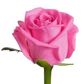 Роза Аква (Aqua) 55-65 см