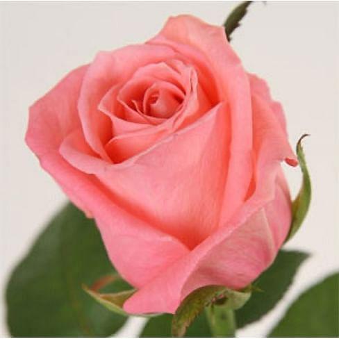 Роза Казанова (Cazanova) 55-65 см