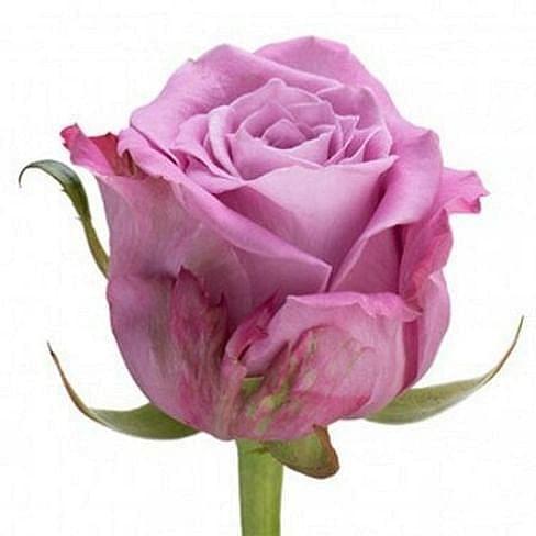 Роза Мэритим (Maritim) 55-65 см