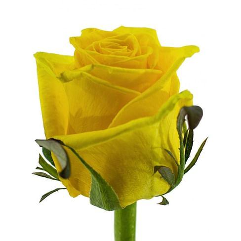 Роза Тара (Tara) 55-65 см