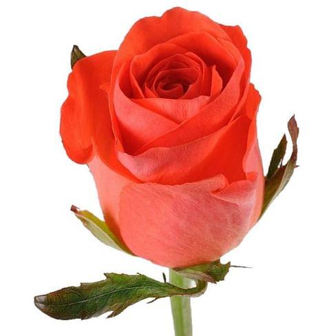 Роза Вау (Wow) 55-65 см