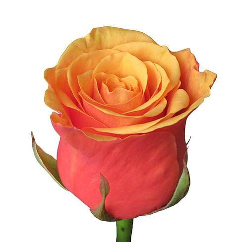 Роза Эспана (Espana) 55-65 см