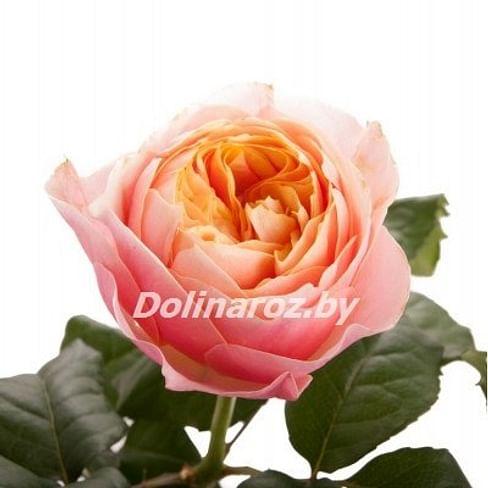 Пионовидная роза Голден Вувузелла