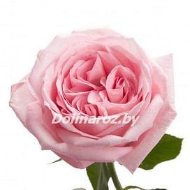Пионовидная роза Пинк Оксара