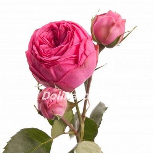 Пионовидная роза Пинк