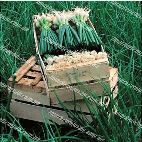 Де Барлетта семена лука на перо раннего 250 грамм Vilmorin/Вилморин