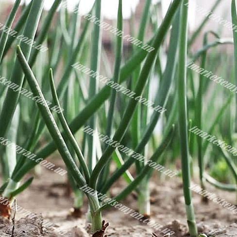 Блейд семена лука на перо Semenaoptom/Семенаоптом
