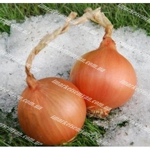 Экстра Эрли Голд F1 семена лука репчатого озимого раннего 10 000 семян United Genetics