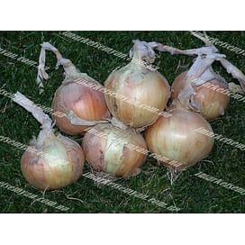 Шилтон F1 семена лука репчатого озимого Agri Saaten