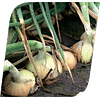 Балстар F1 (Balstar F1) семена лука озимого 250 000 семян Hungnong
