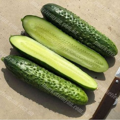 Бадэ F1 (Баде F1) семена огурца партенокарп. ультрараннего Yuksel/Юксел