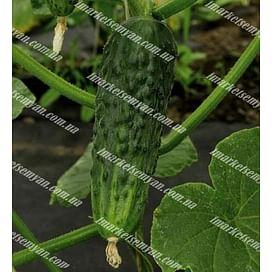 Бафра F1 семена огурца корнишона партенокарп. раннего LibraSeeds