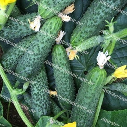152-175 F1 семена огурца партенокарп. раннего 500 семян Yuksel/Юксел