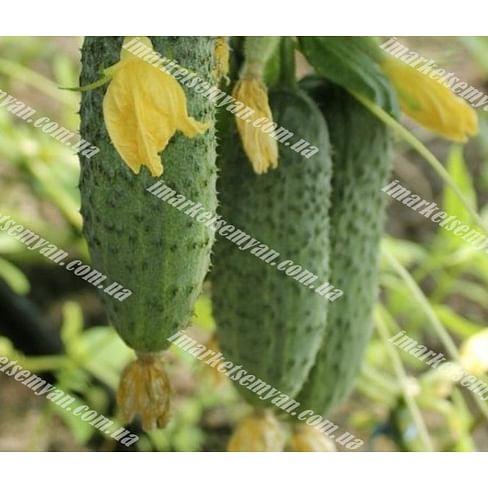 Грин Пик F1 семена огурца партенокарп. раннего 1 000 семян United Genetics