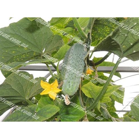 Бакшиш F1 семена огурца партенокарпического 500 семян LibraSeeds