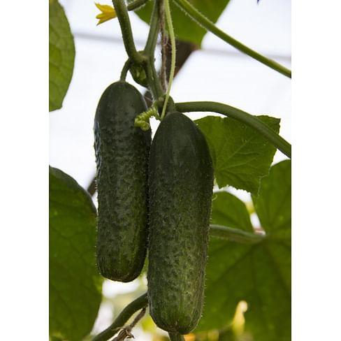 Везунчик F1 семена огурца партенокарп. раннего Lucky Seed