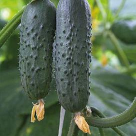 Азарт F1 семена огурца партенокарп. раннего Lucky Seed