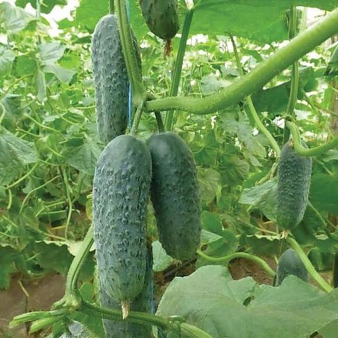 КС 90 F1 семена огурца партенокарпического раннего 250 семян Kitano/Китано