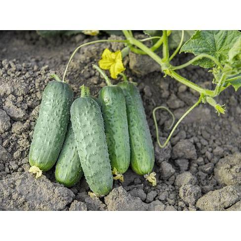 Проликс F1 семена огурца партенокарпического 1 000 семян Nunhems
