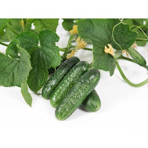 Велокс F1 семена огурца партенокарпического 100 семян Nunhems