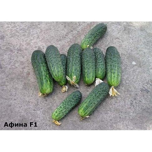 Афина F1 семена огурца партенокарпического раннего 100 семян Nunhems
