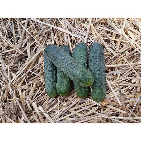 Мария F1 семена огурца партенокарпического 500 семян Sakata/Саката