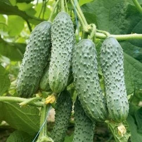 Мадита F1 (Madita F1) семена огурца партенокарпического 250 семян Seminis/Семинис