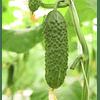 СВ 4097 ЦВ F1 (SV 4097 CV F1) семена огурца партенокарпического раннего Seminis/Семинис