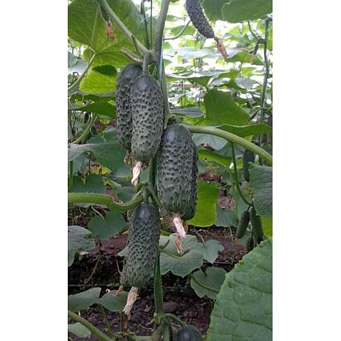 СВ 3506 ЦВ F1 (SV 3506 CV) семена огурца партенокарпического Seminis/Семинис