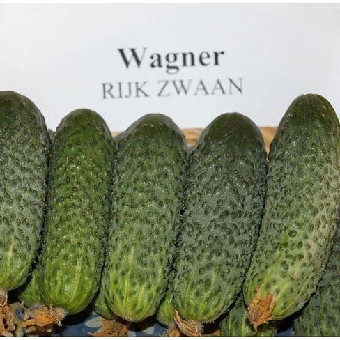 Вагнер F1 семена огурца партенокарпического Rijk Zwaan/Рийк Цваан