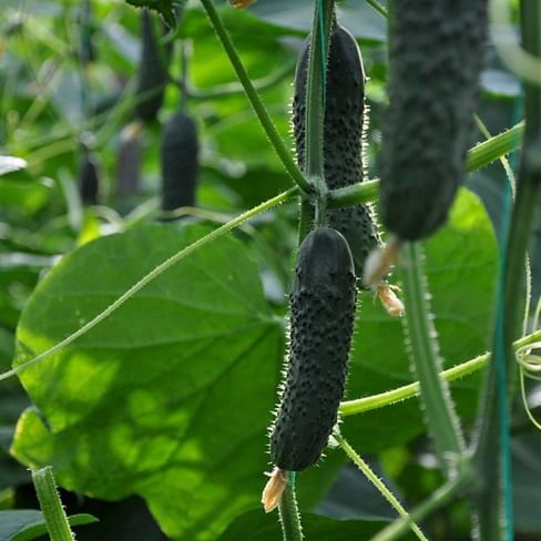 Сарацин F1 (Мозаик) семена огурца партенокарпического 500 семян Yuksel/Юксел