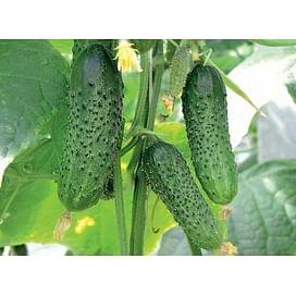 Меренга F1 семена огурца партенокарпического Seminis/Семинис